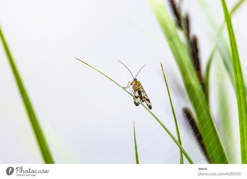 Skorpionfliege sitzt auf einem Grashalm Insekt Panoramablick Panorpa germanica Tier Tiermotive Tiere Textfreiraum Fliege Deutsche Skorpionfliege Wiese