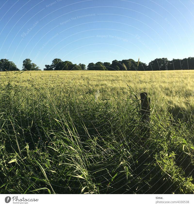 Geschichten vom Zaun (109) Getreide holzpfahl getreidefeld zaun natur wachstum horizont bäume knick landwirtschaft sonnig sommer Wegrand ähre gras