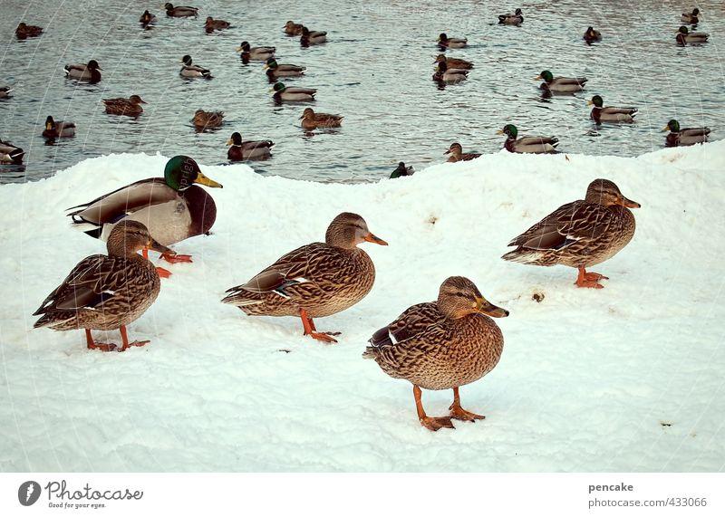 poolparty Natur Winter Eis Frost Schnee Park Seeufer Teich Wildtier Ente Stockente Tiergruppe Coolness Freundlichkeit kalt Bewegung planen Dämmerung Schwimmbad