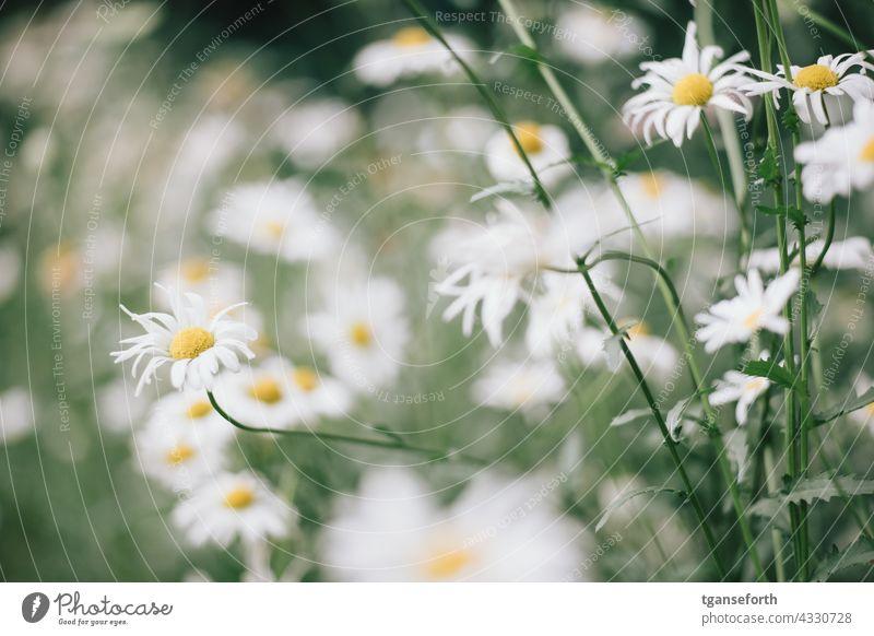 margariten Blume Blüte Pflanze Natur Menschenleer Farbfoto Blühend Außenaufnahme Sommer Garten Nahaufnahme grün Detailaufnahme Blütenblatt violett Unschärfe