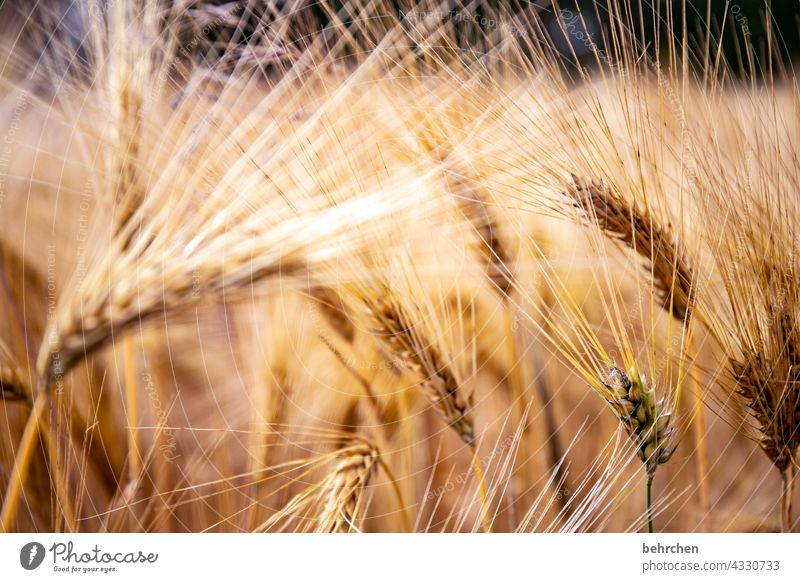 haarig Feld Getreide Hafer Weizen Roggen Gerste Getreidefeld Sommer Landwirtschaft Ähren Natur Kornfeld Lebensmittel Menschenleer Landschaft Umwelt Nutzpflanze