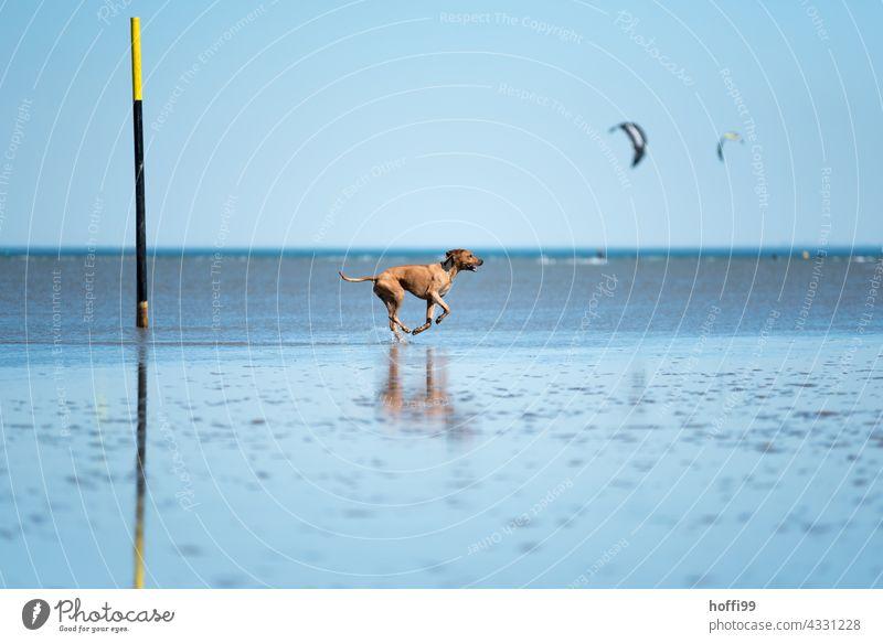 der Hund rennt bei Ebbe durchs Watt Strand Reinrassig Tierporträt Wattwandern Wattenmeer Nordsee Bewegung rennen 1 Freude Lebensfreude Sonnenlicht Sommer