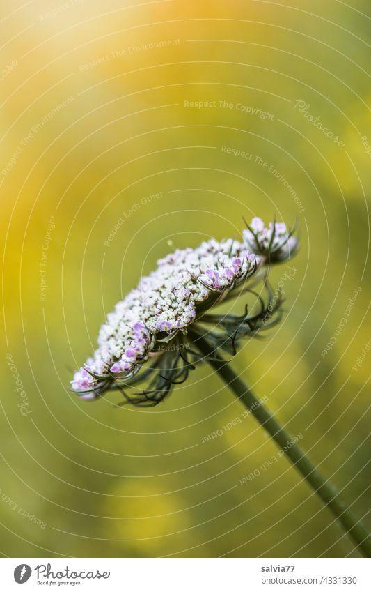Doldenblüte der wilden Möhre Natur Blume Wilde Möhre Wildblume Wildpflanze Blüte Sommer Pflanze Blumenwiese weiß gelb Blühend Menschenleer Farbfoto Wiese warm