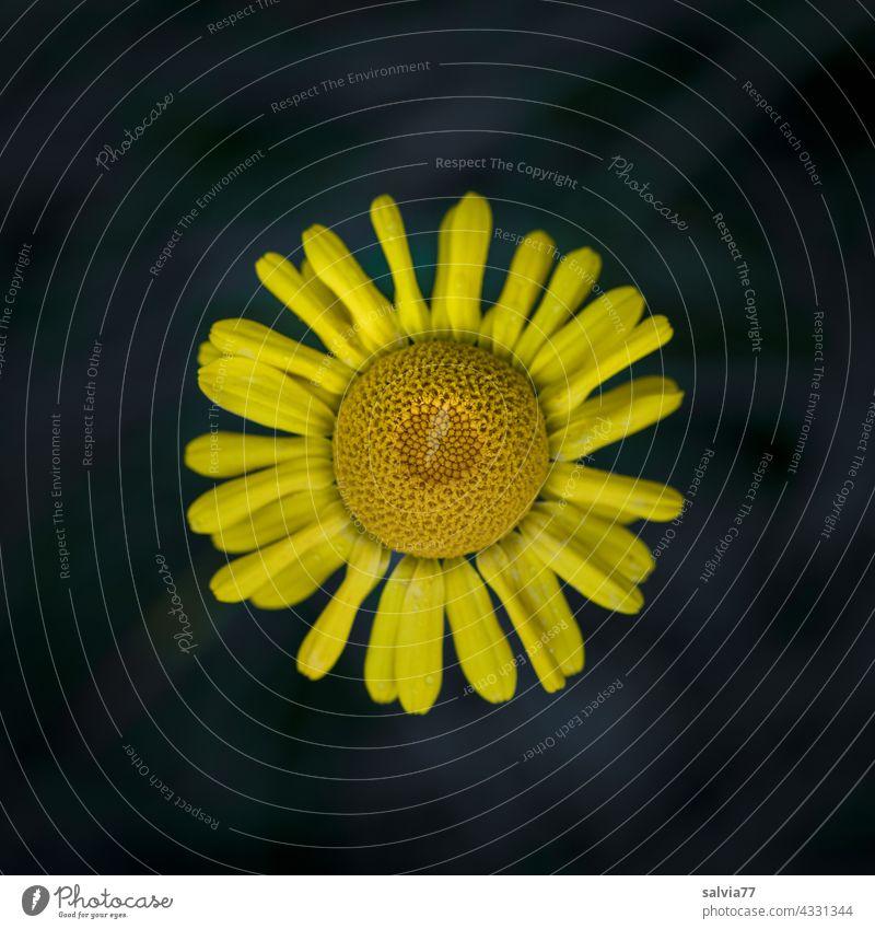 gelbe Körbchenblüte der Färberkamille aus der Vogelperspektive, vor schwarzem Hintergrund Blume Blüte Kontrast Makroaufnahme Natur Pflanze Hintergrund neutral