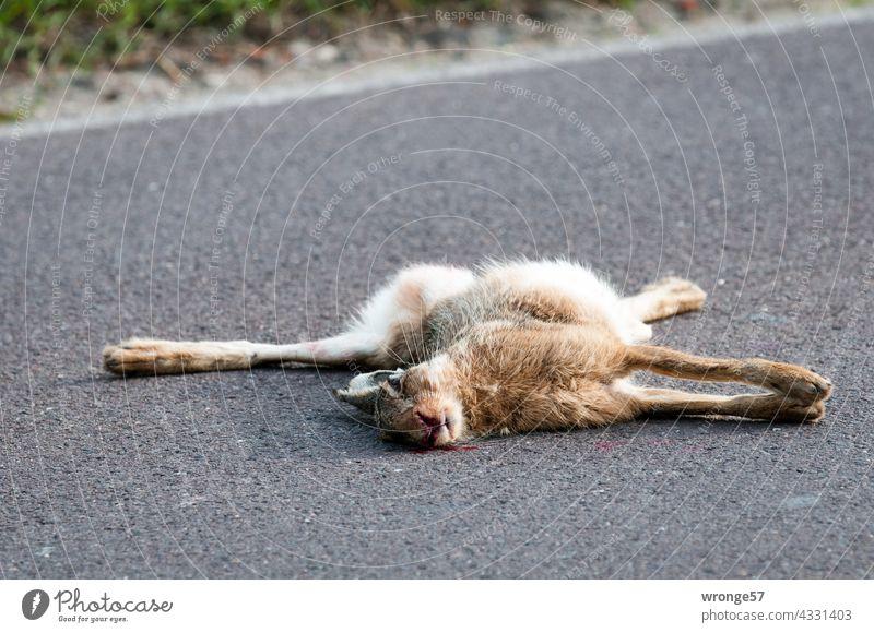 Ein angefahrener toter Hase liegt mittig auf einer Landstraße Straßen Tierwelt überfahren Wildkaninchen Hase & Kaninchen Außenaufnahme Farbfoto Menschenleer