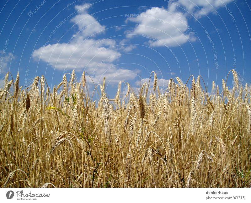 Gerste vor blauem Himmel Wolken gelb Landschaft nah Getreide