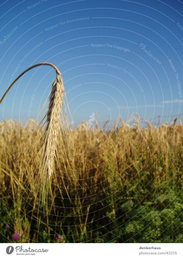 Gerste ganz nah Himmel blau gelb braun Feld Getreide Landwirtschaft