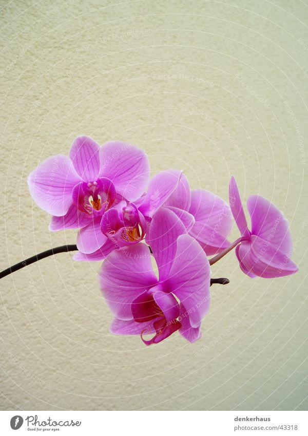 Orchidea Orchidee Blume Pflanze Blüte Blühend Nahaufnahme