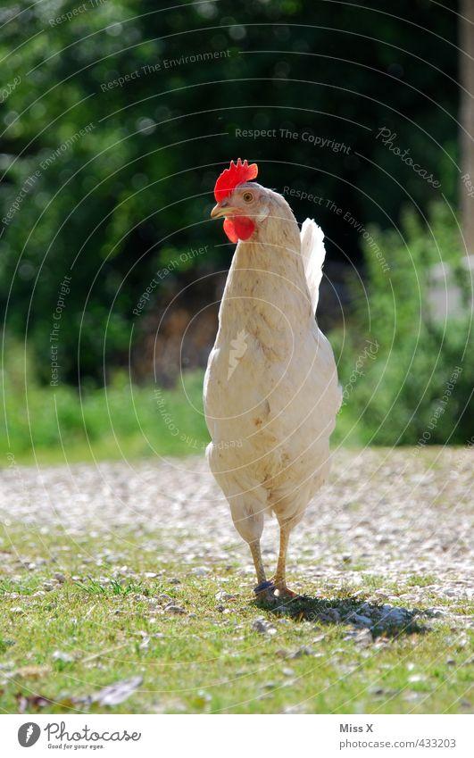 Huhn weiß Landwirtschaft Neugier Bauernhof Bioprodukte Fleisch Tierzucht Haushuhn Hahn Geflügel Hühnervögel Tierhaltung freilaufend Hahnenkamm stolzieren