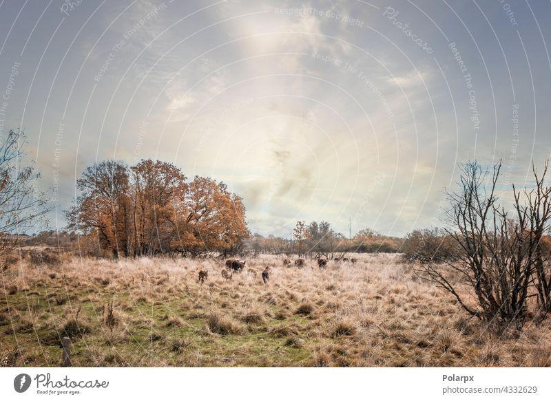 Hereford-Rinder, die im hohen goldenen Gras laufen eine züchten Sonnenlicht bovin Rindfleisch Kuh Sonnenuntergang weiß melken Hintergrund außerhalb farbenfroh