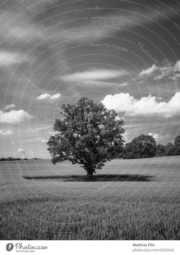 Einzelner Baum in der Mitte eines Weizenfeldes Biologische Landwirtschaft Ökologie Agrarsektor landwirtschaftlich Ackerbau acre Ackerkulturen