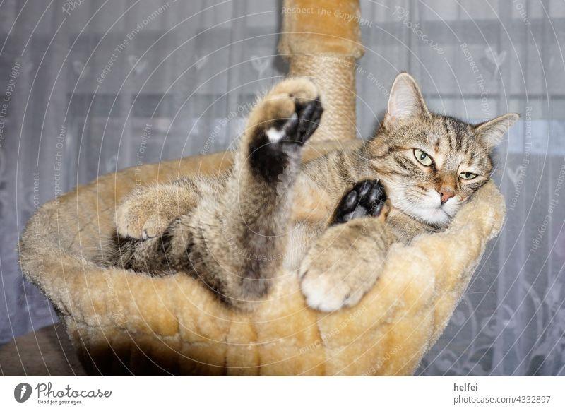 Katze beim relaxen im Katzenkörbchen guckt sehr entspannt Erholung Zufriedenheit schlafen liegen Innenaufnahme Geborgenheit ruhig Tierporträt Haustier
