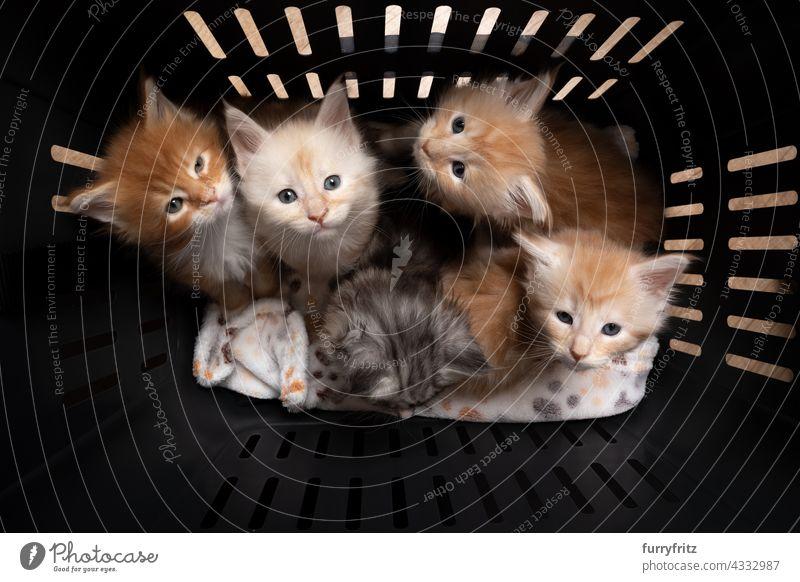 Gruppe von 8 Wochen alten Maine Coon Kätzchen im Inneren des Haustieres Träger Box Katze fluffig Fell katzenhaft Langhaarige Katze maine coon katze Katzenbaby