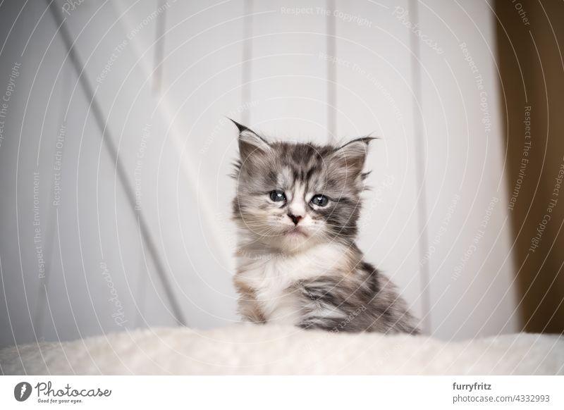 niedlich schwarz silber torbie weiß maine coon Kätzchen Porträt Katze Haustiere fluffig Fell katzenhaft Langhaarige Katze maine coon katze Katzenbaby Ein Tier