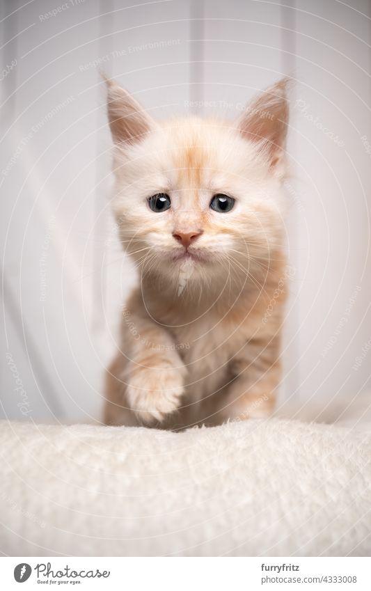 neugierig Creme weiß maine coon Kätzchen Porträt Katze Haustiere fluffig Fell katzenhaft Langhaarige Katze maine coon katze Katzenbaby Ein Tier niedlich