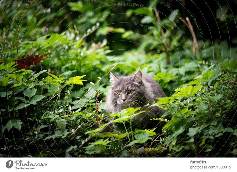 graue Katze im Freien in grünen Büschen zu beobachten freies Roaming Natur Garten Vorder- oder Hinterhof Laubwerk Langhaarige Katze maine coon katze