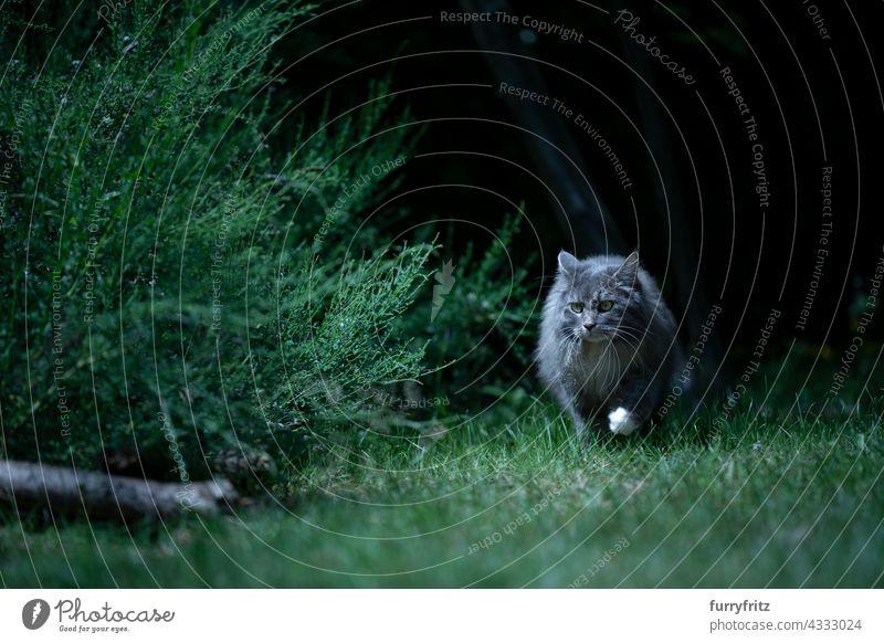 graue Langhaar-Katze auf der Pirsch auf der Wiese bei Nacht im Freien Natur grün Haustiere freies Roaming Langhaarige Katze maine coon katze blau gestromt