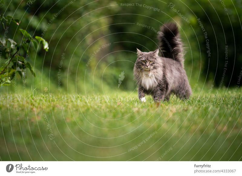 maine coon Katze mit flauschigen Schwanz im Freien in grünen Hinterhof freies Roaming Natur Garten Vorder- oder Hinterhof Rasen Wiese Gras Langhaarige Katze