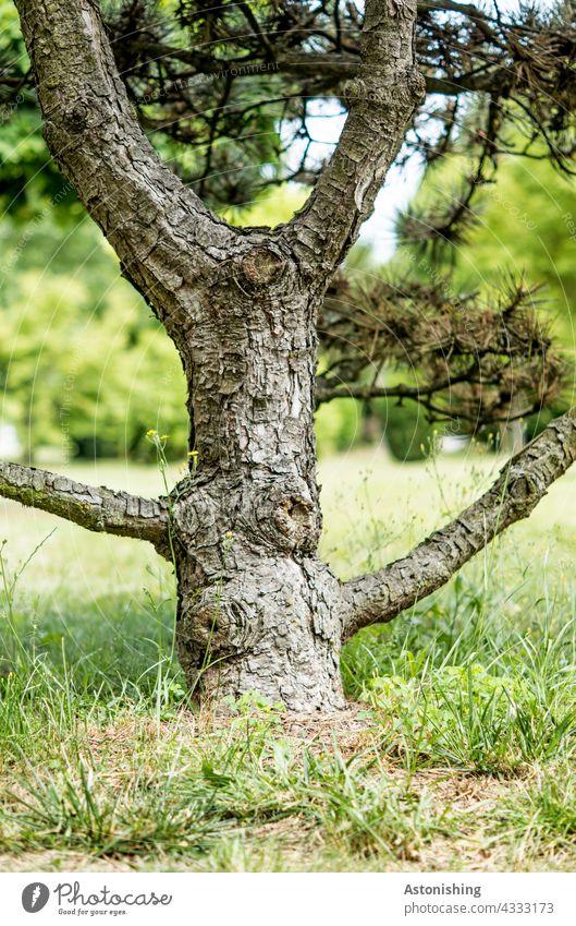 Charakter-Baumstamm Stamm Äste Zweige Nadelbaum Rinde knorrig grau braun Natur schön Gras Boden unten klein Detail Wald Landschaft verzweigt Struktur Umwelt