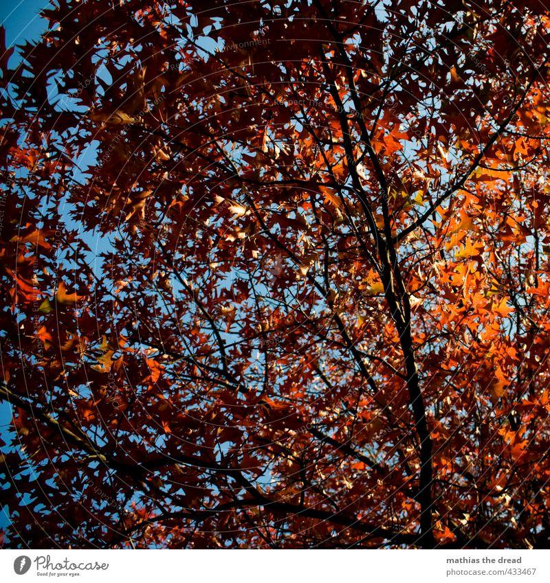 BLÄTTERDACH Natur Himmel Herbst Schönes Wetter Baum Blatt ästhetisch schön Ast Blätterdach rot herbstlich Färbung Farbfoto mehrfarbig Außenaufnahme Menschenleer