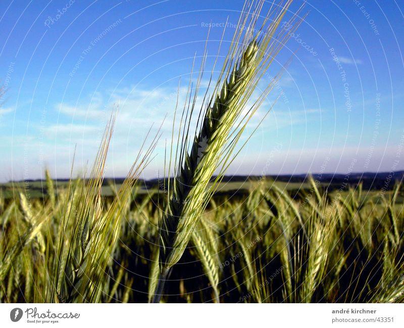 roggen Feld Roggen Sommer Hügel Ähren Getreide Korn Himmel