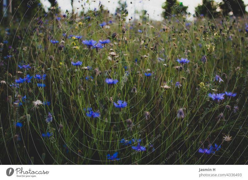 Wildblumenwiese Wiese Natur Blüte Sommer Blume Umwelt Blühend Blumenwiese Pflanze Wiesenblume Wildpflanze Farbfoto grün Tag Garten Außenaufnahme Frühling