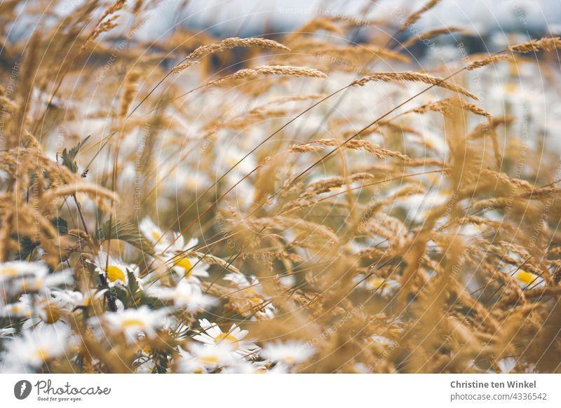 Margeriten und Gräser auf einer Wiese Margeritenwiese Wildblumen Wildblumenwiese Natur Sommer blühend schön wunderschön Insektenschutz Pollenspender weiß gelb