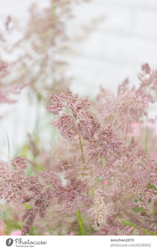 rötliche Gräser Gras romantisch Natur rot grün Sommer Wiese Pflanze Außenaufnahme natürlich Wildpflanze Frühling Feld Wachstum Farbfoto Garten