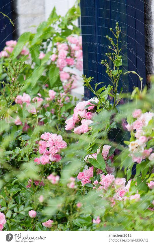 kleine rosafarbene Rosen vor einer blauen Tür Natur pink grün Blumen Blüten Frühling natürlich Garten Sommer blühen Nahaufnahme Pflanze Farbfoto