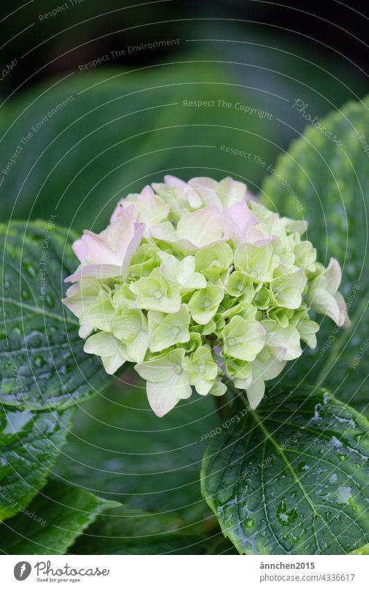 eine helle Hortensienblüte mit grünen nassen Blättern Sommer Regen Blüte Blume Natur blühend Regentropfen Garten Pflanze Farbfoto Nahaufnahme Detailaufnahme