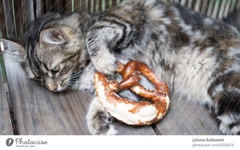 Katze mit Breze Brezel Tier bayerisch Bayern Oktoberfest Essen traditionell München Tradition Deutsch miezekatze süß Haustier Deutschland Snack Lebensmittel