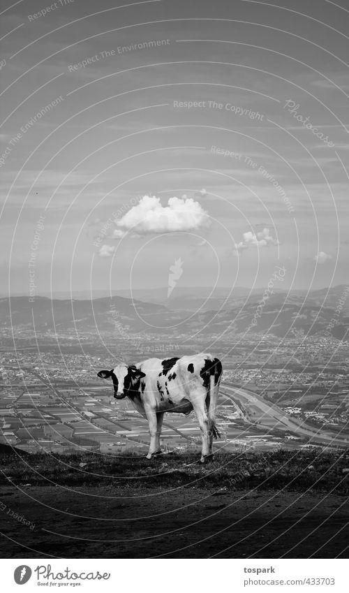 Kuh mit Aussicht Natur Ferien & Urlaub & Reisen Sommer Landschaft Wolken Tier Umwelt Berge u. Gebirge Wärme Gefühle Stimmung Klima Tourismus stehen wandern