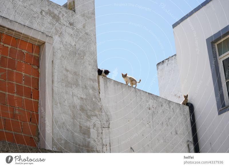 Junge wilde europäisch Kurzhaaar Katzen auf einer Mauer Hauskatze Haustiere junge Katze aufmerksam Ein Tier katzenhaft Blickkontakt Rassekatze Kurzhaar