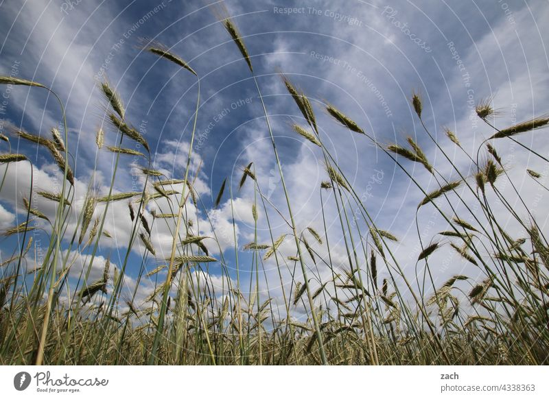 Froschperspektive Wind Natur Sommer Kornfeld Wolken gelb blau Himmel Blauer Himmel Weizenfeld Getreidefeld Acker Landwirtschaft Gerste Gerstenfeld Ackerbau Feld