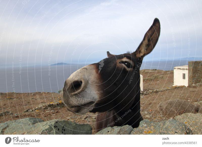 Wasn? Häuser Haus Dorf blau Hügel Himmel Insel Kykladenarchitektur Mittelmeer Ägäis Griechenland Meer Wasser Esel Tiergesicht Nutztier Folegandros Sommer lustig