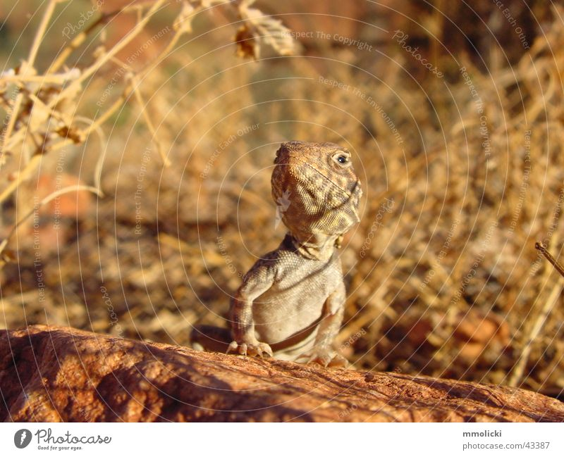 Lizard braun Körperhaltung Australien Stolz