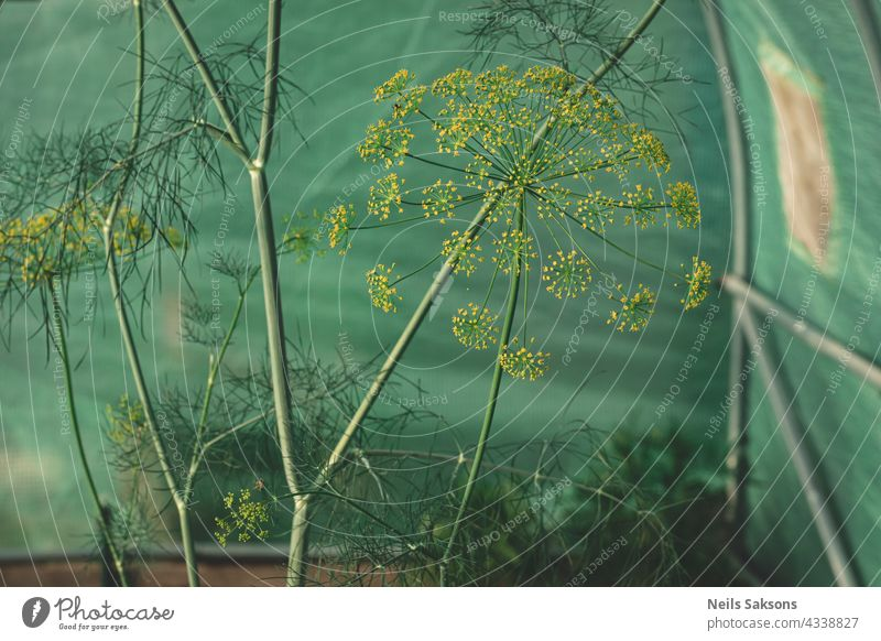 Aromatherapie und frisch gewürzter Snack im grünen Gewächshaus abstrakt landwirtschaftlich Ackerbau schön Schönheit Blütezeit Überstrahlung Blühend botanisch