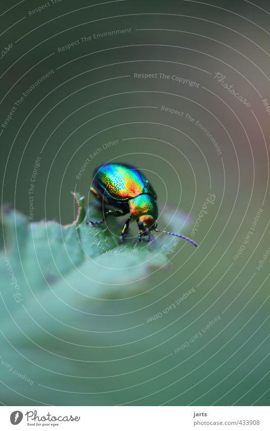 farbklecks Wildtier Käfer 1 Tier krabbeln glänzend natürlich blau mehrfarbig gelb gold grün orange Leben Natur Rosenkäfer Farbfoto Außenaufnahme Nahaufnahme