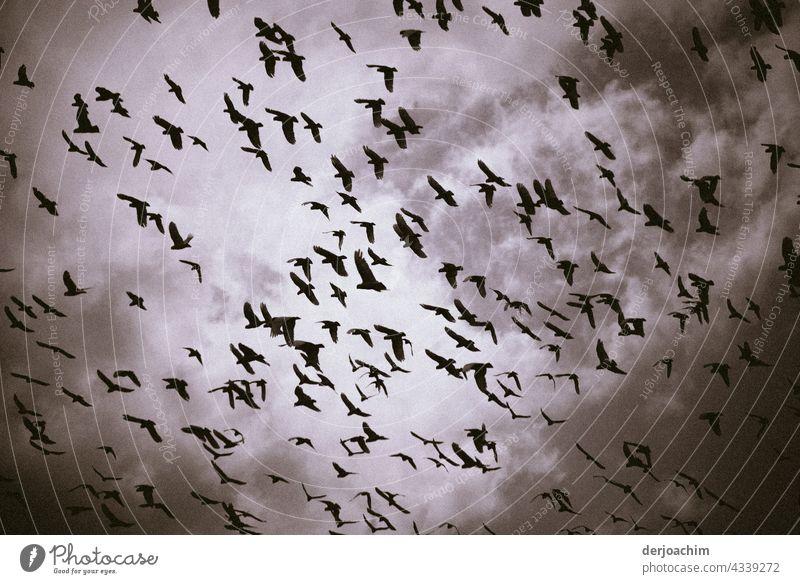 Ein riesiger Schwarm Vögel treffen sich am verdunkelten Himmel, mit Wolken. Natur Farbfoto Tier Außenaufnahme Wildtier Menschenleer fliegen natürlich Umwelt
