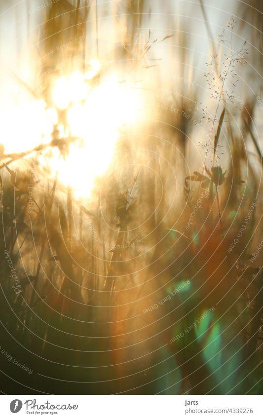 Sonnenuntergang in einer Wiese mit Blumen und Gras Licht Schatten Natur Außenaufnahme Farbfoto Pflanze Menschenleer Sommer Abend Sonnenlicht Schönes Wetter