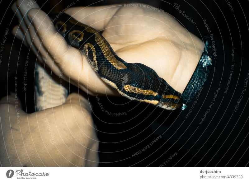 Kuschelisch und Warm. Die kleine Schlange ist so Handwarm. Sie schlängelt sich den Arm hinauf. Farbfoto Wildtier Tier Nahaufnahme Tierporträt Natur Tiergesicht