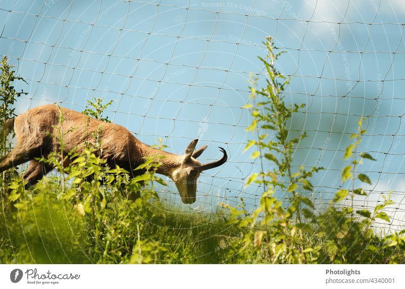 Gemse läuft an einem Zaun entlang Tierporträt Textfreiraum oben Außenaufnahme stahlblau himmelblau Freiheit beobachten Aussicht 1 Farbfoto Tag Wildtier Natur