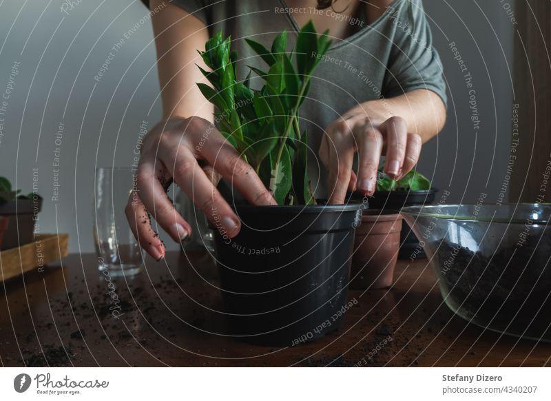 Umtopfen einer Zimmerpflanze (ZZ-Pflanze), rustikaler und stimmungsvoller Stil. Pflege Basteln Dekor Schmutz dreckig Ökologie Frau frisch Garten Gärtner