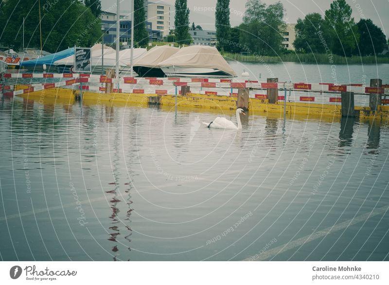 Schwan schwimmt nach Hochwasser auf einem Parkplatz Tier Außenaufnahme Farbfoto Wasser weiß See Tag Menschenleer Reflexion & Spiegelung Natur Vogel Wellen