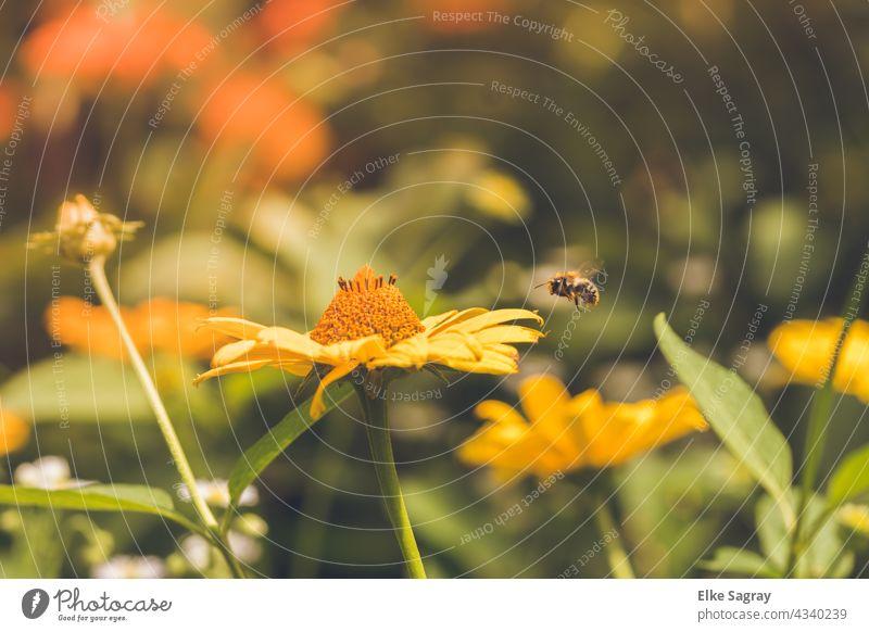 Biene im Anflug... Blume Insekt Blüte Makroaufnahme Nahaufnahme Sommer Außenaufnahme Textfreiraum oben Farbfoto Schwache Tiefenschärfe Menschenleer
