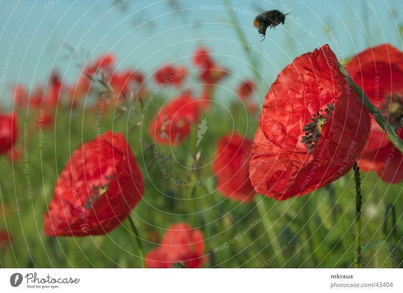 Hummelflug Blume Mohn Flugzeuglandung