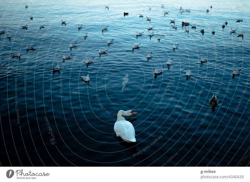Schwan am See blau Möwenvögel Vögel Wasser Natur weiß Außenaufnahme Im Wasser treiben Tier elegant