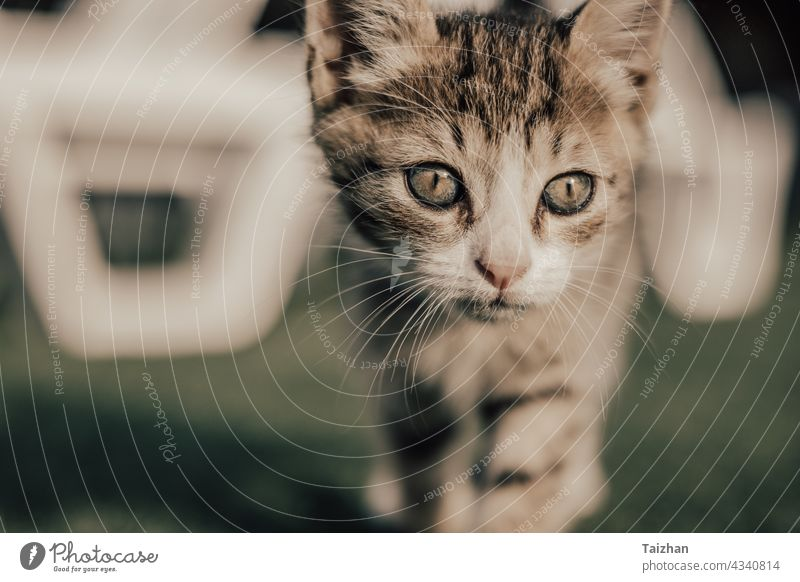 Kitty Nahaufnahme Porträt . Haustier Konzept fluffig pelzig Säugetier Reinrassig bezaubernd Katze katzenhaft lustig Fell grau Katzenbaby Kätzchen Blick hübsch
