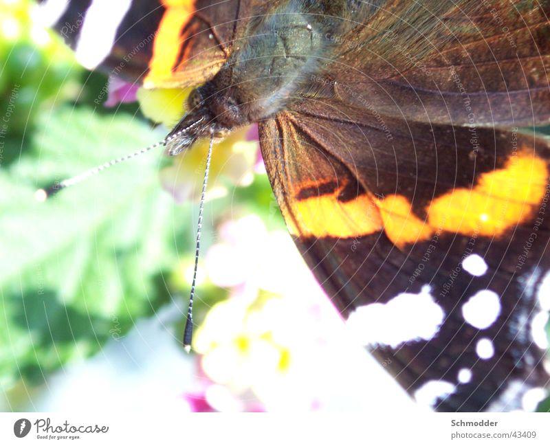 Admiral Sommer Insekt Schmetterling
