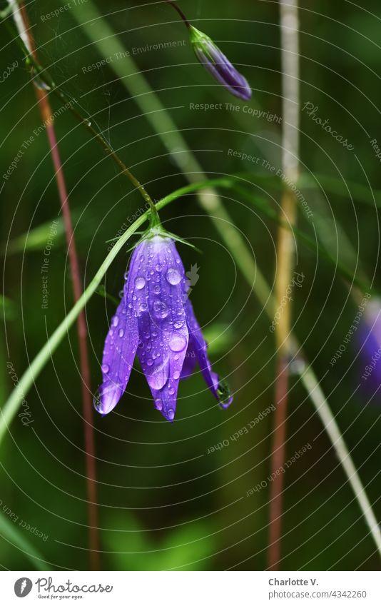 Glockenblume nach dem Regen blaue Blüte Blütenglocke Pflanze Natur Sommer Nahaufnahme Außenaufnahme Farbfoto Blühend grün Tag schön violett Regentropfen Tropfen